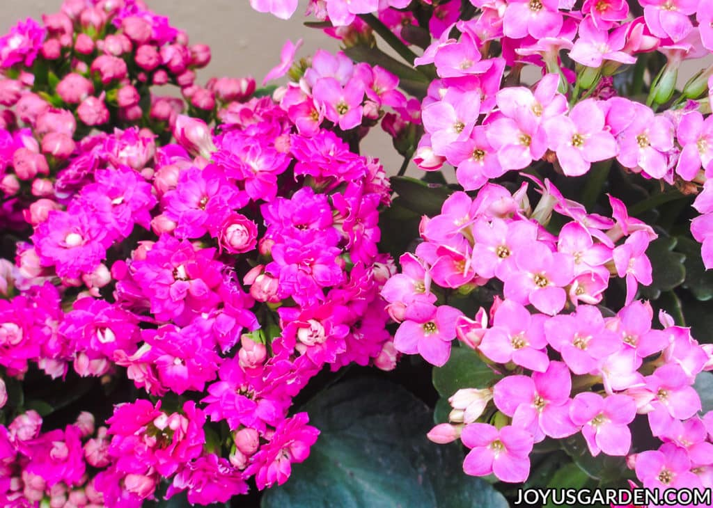 hot pink kalanchoe calandiva flowers right next to pink kalanchoe blossfeldiana flowers