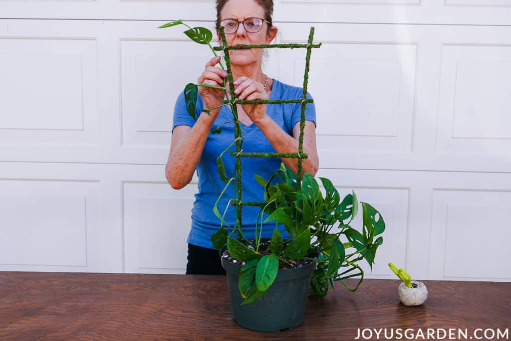 nell foster attaches a stem of a monstera adansonii swiss cheese vine to a moss covered trellis