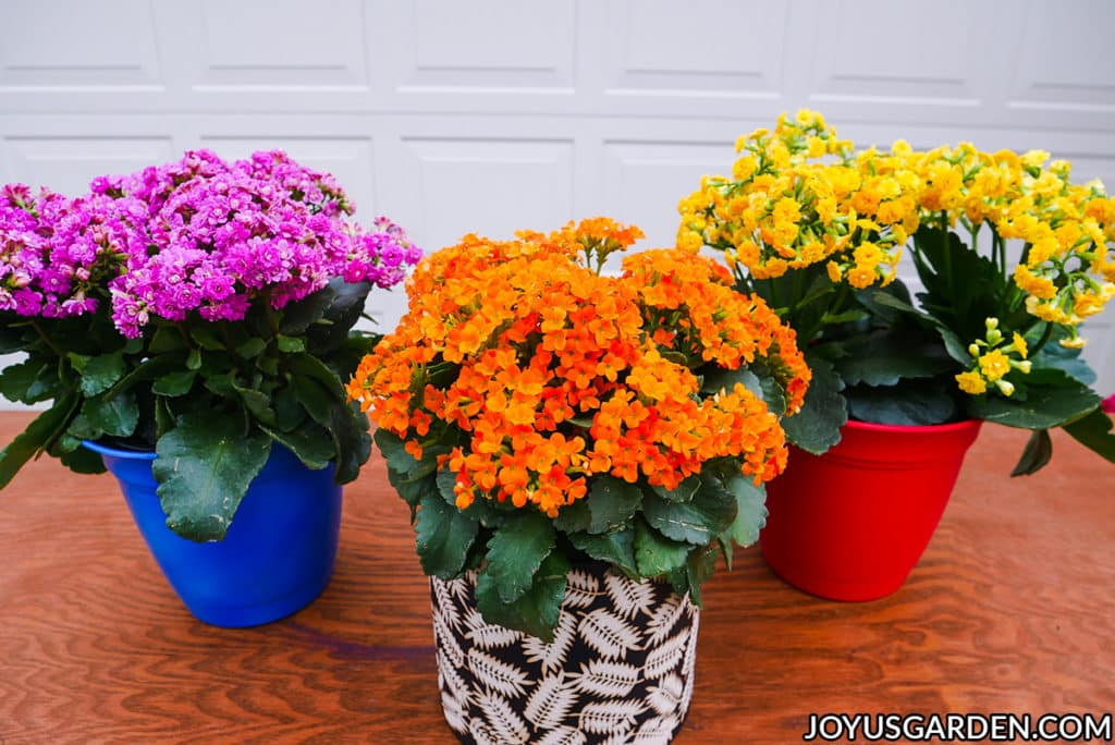 pink, yellow & orange kalanchoe calandivas in full bloom sit on a table