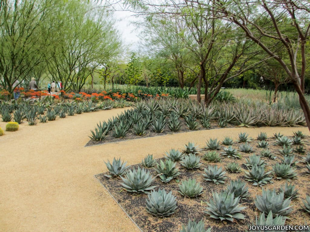 a modern cactus garden with trees and a walkway