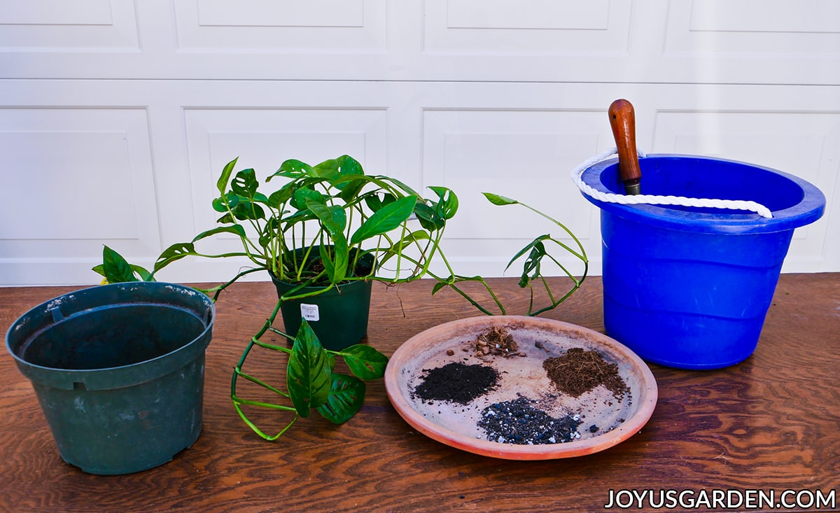 a monstera adansonii swiss cheese vine sits on a work table next to potting materials