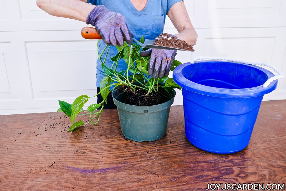 a trowel holds soil mix for repotting a monstera adansonii swiss cheese vine