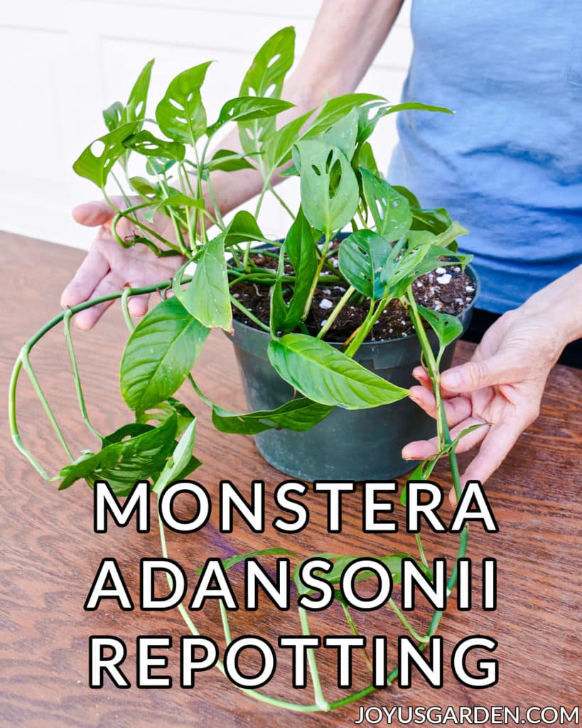 2 hands hold the trails of a monstera adansonii swiss cheese vine the text at the bottom reads monstera adansonii repotting