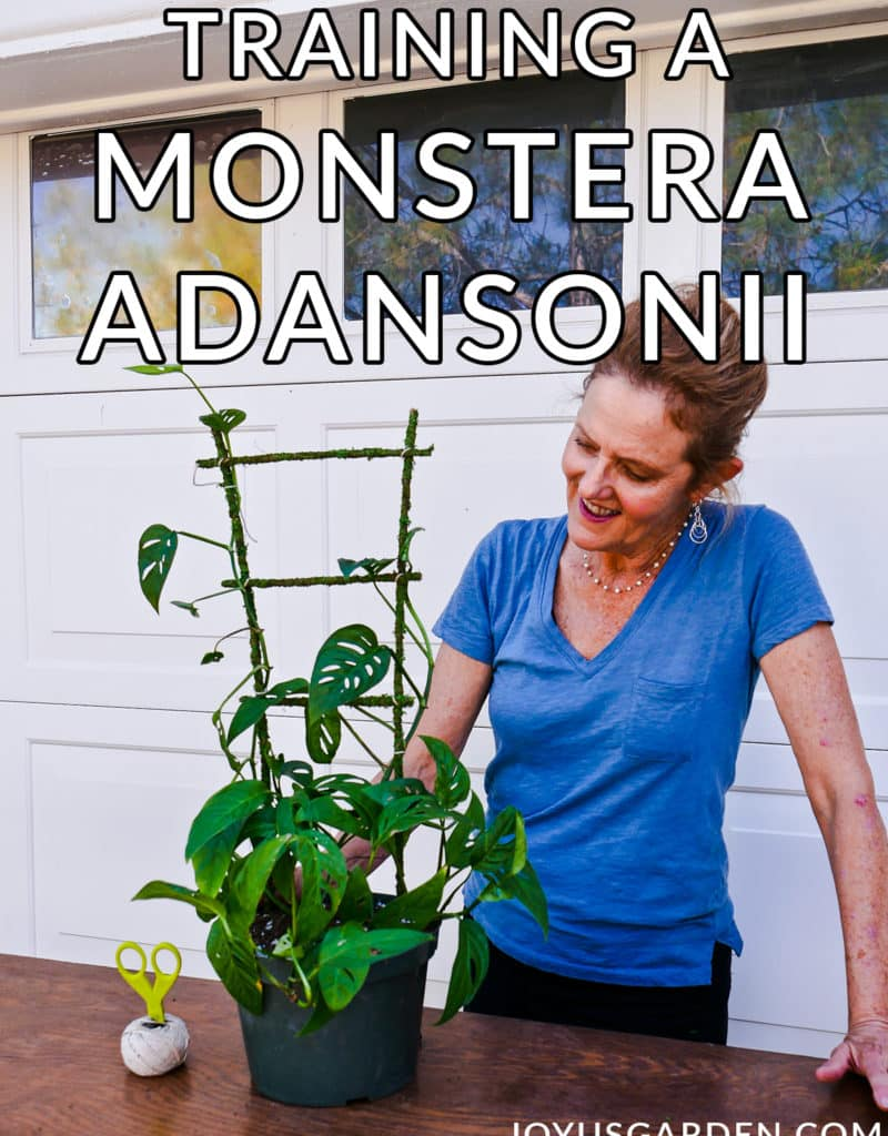 nell foster looks at a monstera adansonii swiss cheese vine growing up a moss trellis the text reads training a monstera adansonii