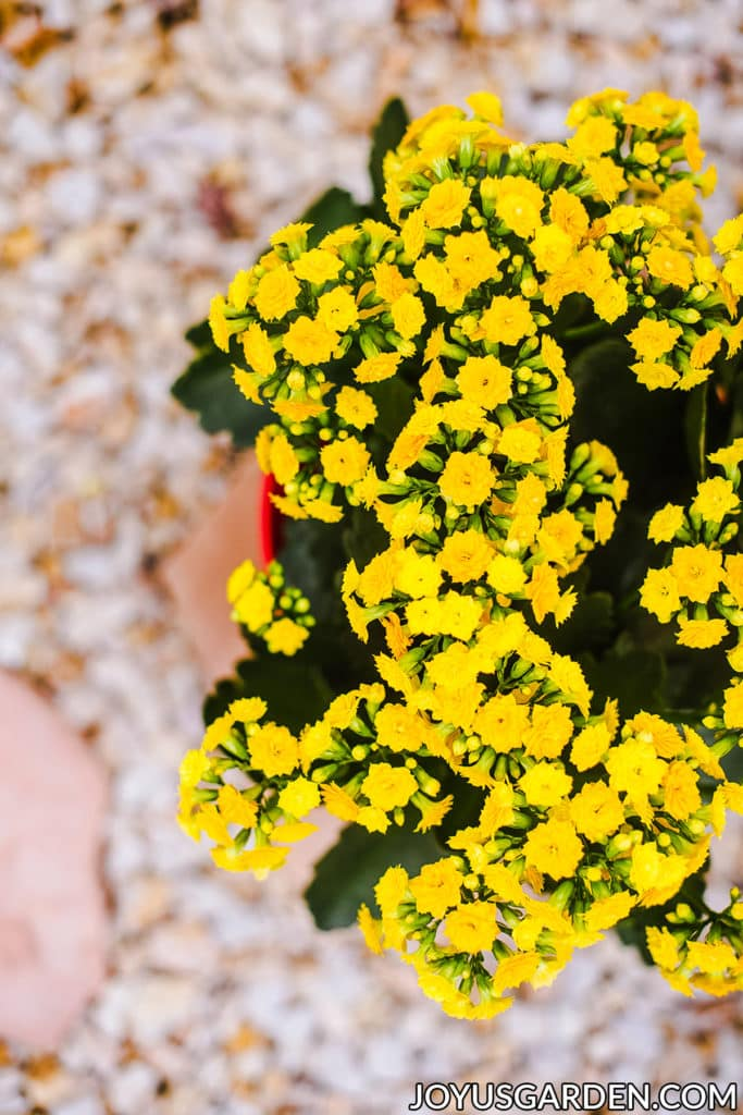 looking down on a yellow kalanchoe calandiva in full bloom