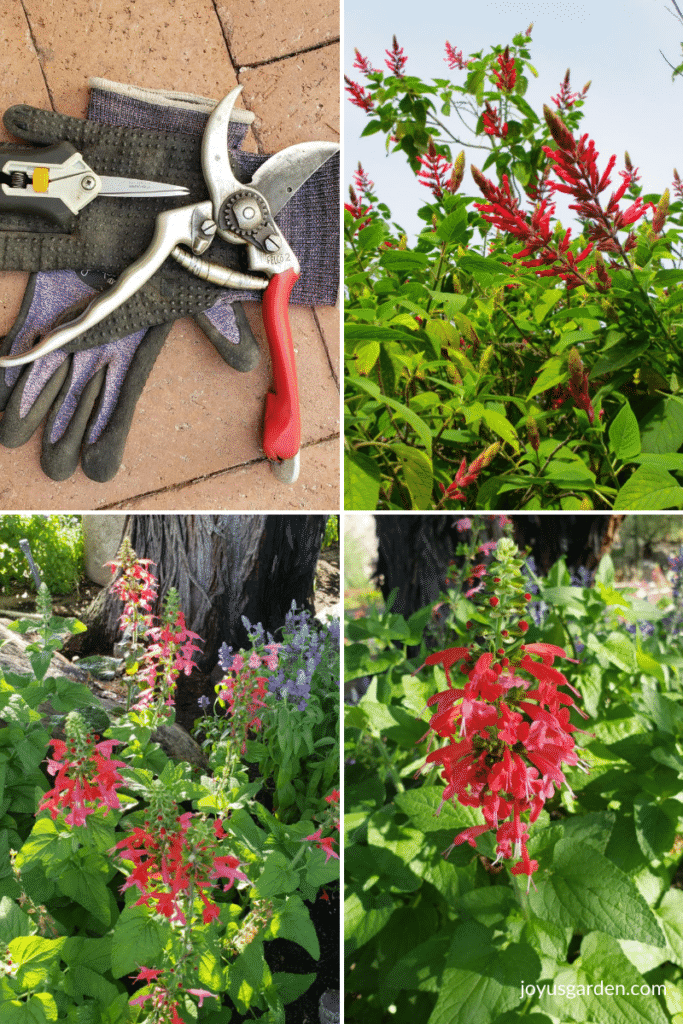 a collage with 3 photos of red salvia plants & 1 photo of pruners for pruning salvias