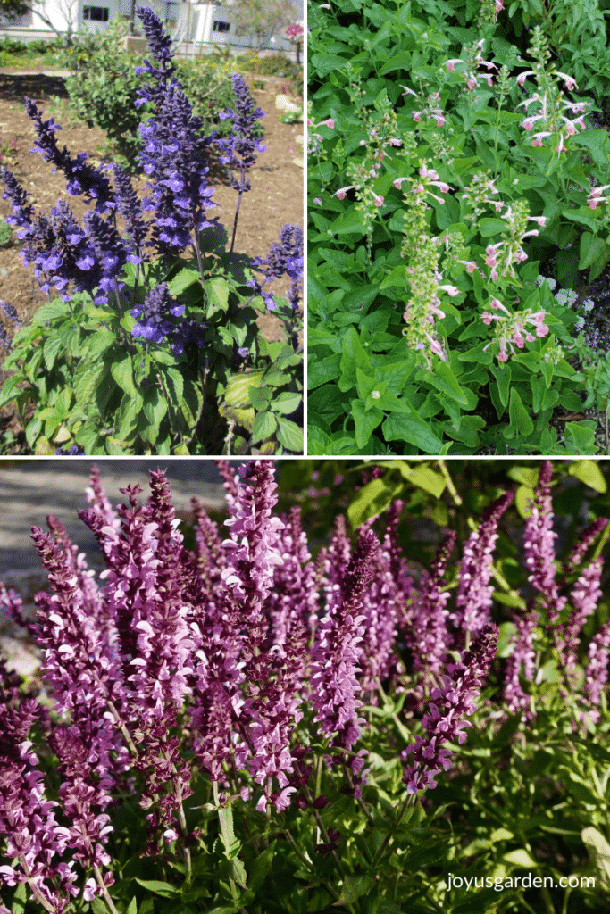 a collage of 3 photos of salvia plants 1 with blue flowers 1 with pink flowers & 1 with lavender flowers