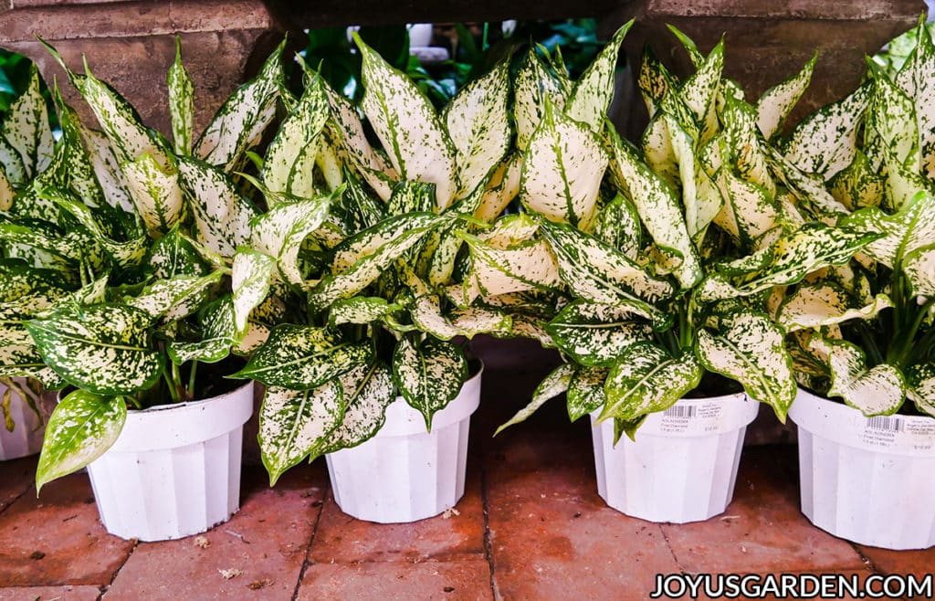 4 aglaonema fist diamonds in white grow pots sit on a brick floor