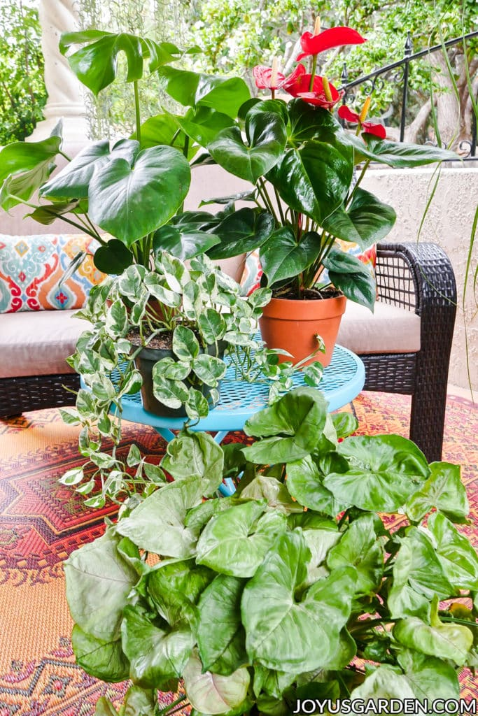 a monstera deliciosa anthurium pothos enjoy & arrowhead vine sit outdoors on a patio
