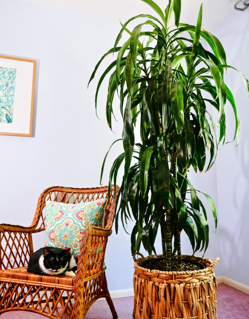 a large dracaena plant with dark glossy green leaves grows in a basket next to a black & white cat in a chair