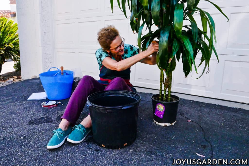 nell foster ties up the lower leaves of a large dracaena lisa before repotting
