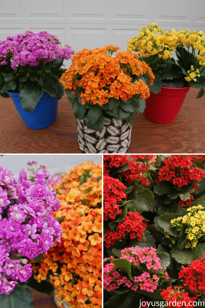 three photos of Kalanchoe plants with hot pink, orange, red, and yellow flowers