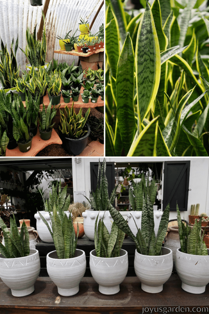 a collage of three pictures of snake plants, some are in yellow pots and green plastic pots, some are close up, and some are in white pots