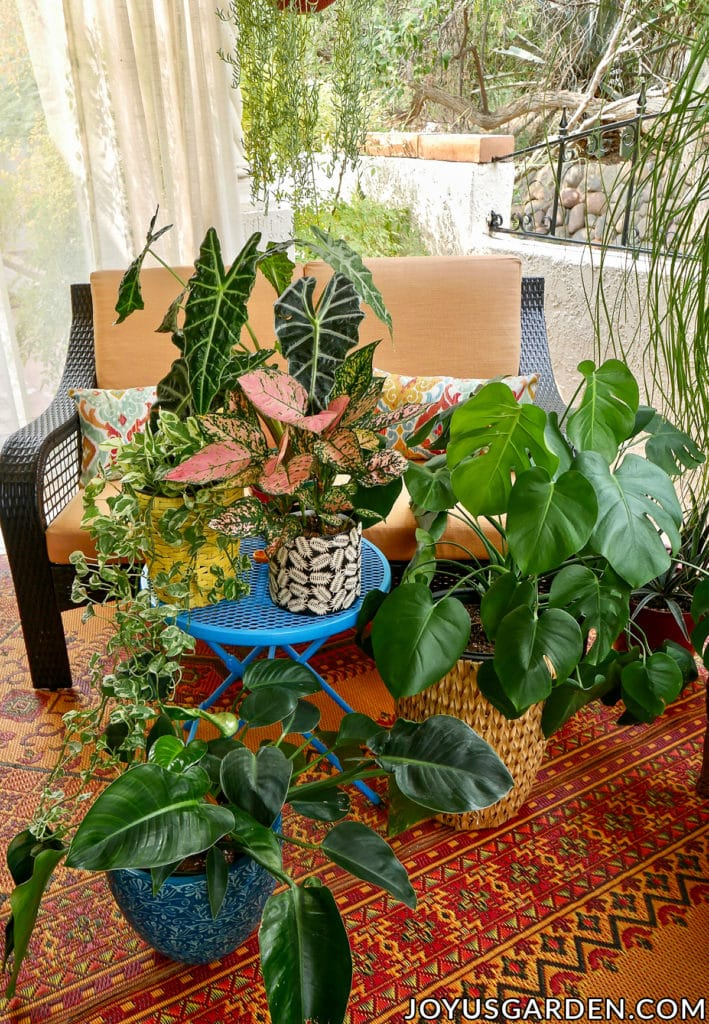 an african mask plant pothos enjoy pink aglaonema philodendron congo & monstera deliciosa are arranged on a patio