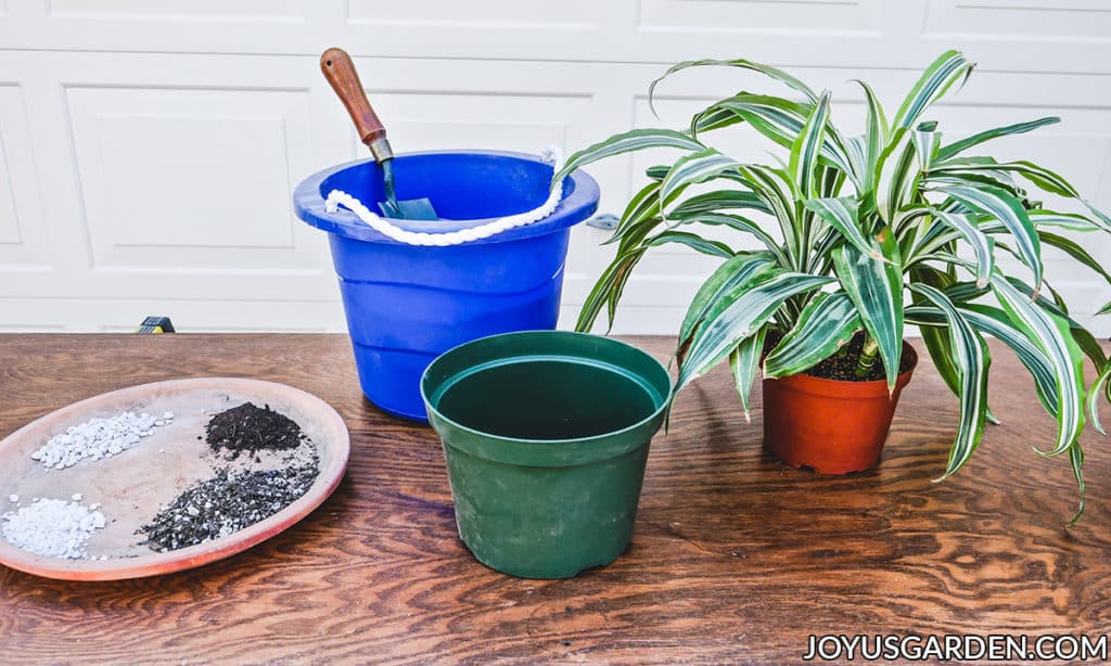 materials used for repotting a dracaena lemon lime sit on a work table