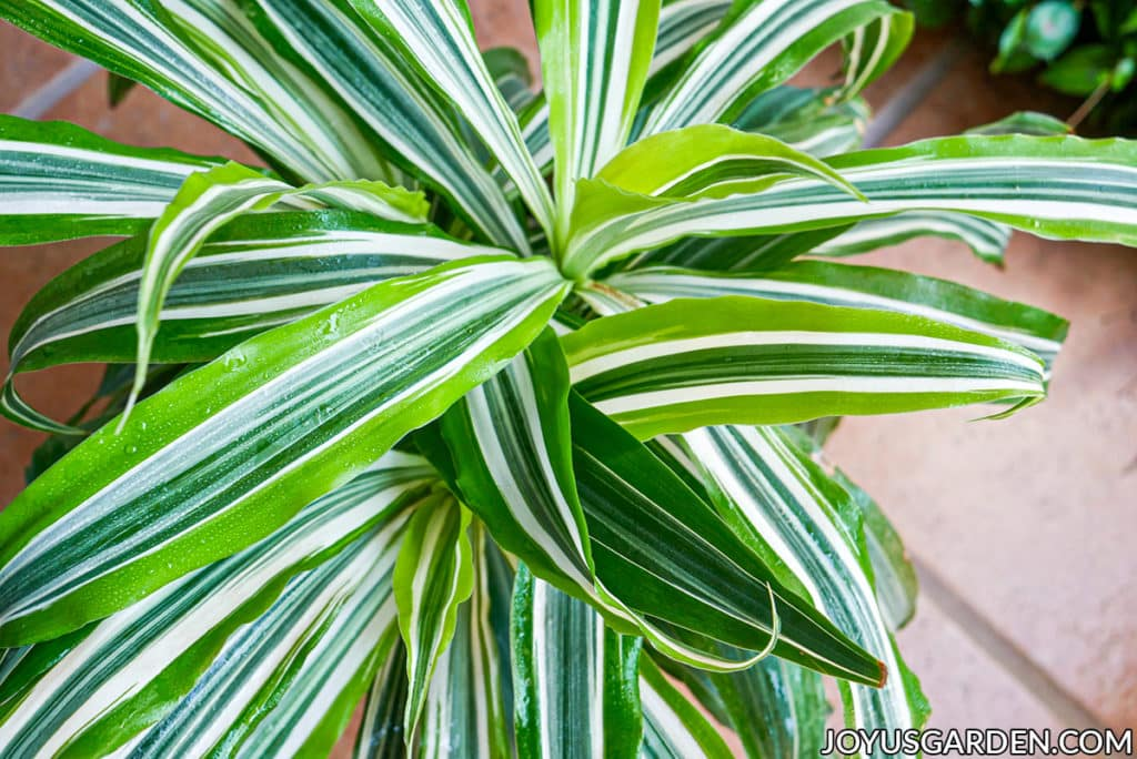 looking down on the vibrant chartreuse new growth of a dracaena lemon lime