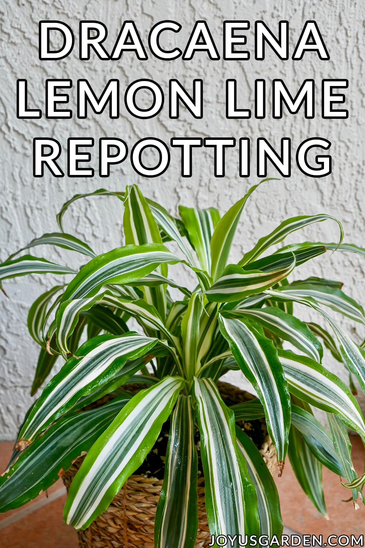 looking down on a small dracaena lemon lime the text reads repotting dracaena lemon lime