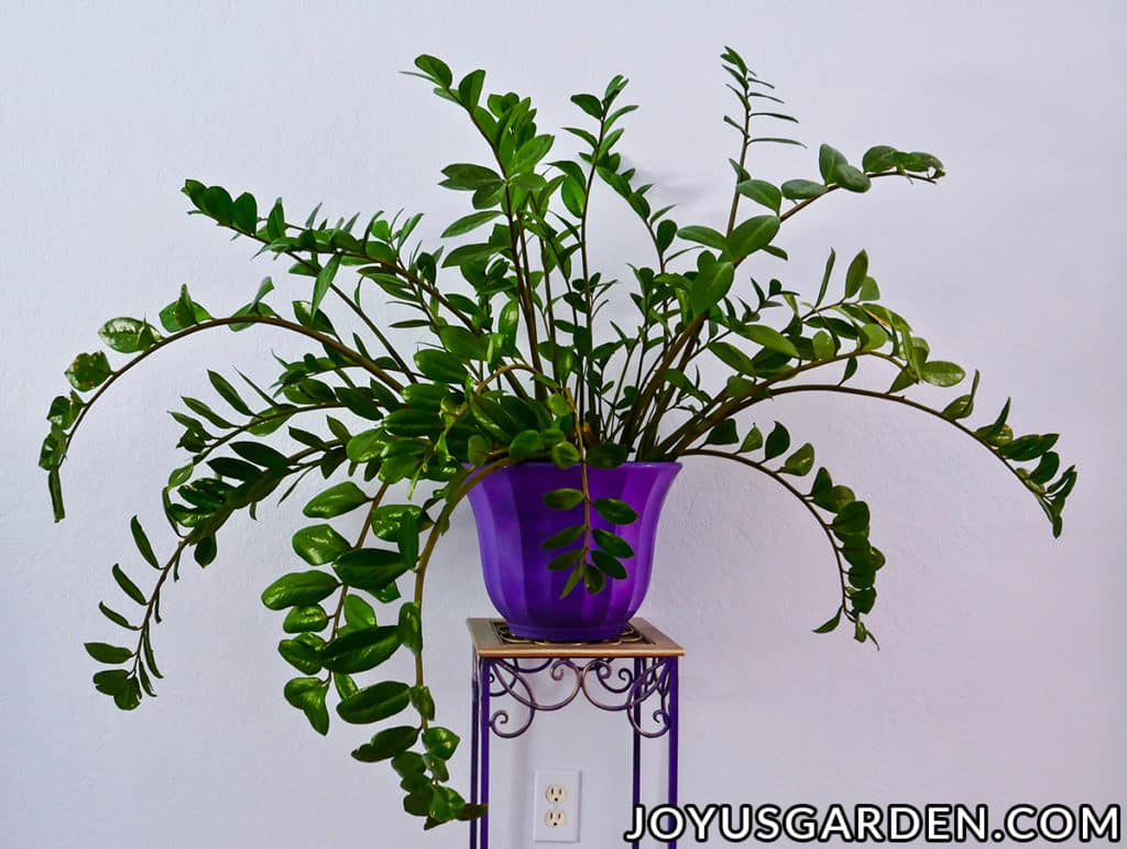 a large zz plant in a purple pot sits on a plant stand