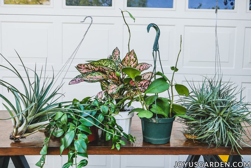 3 houseplants plus 2 large air plants sit on a work table