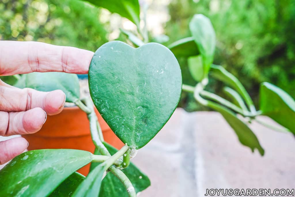 a hand holds the heart shaped leaf of a sweetheart hoya hoya kerrii