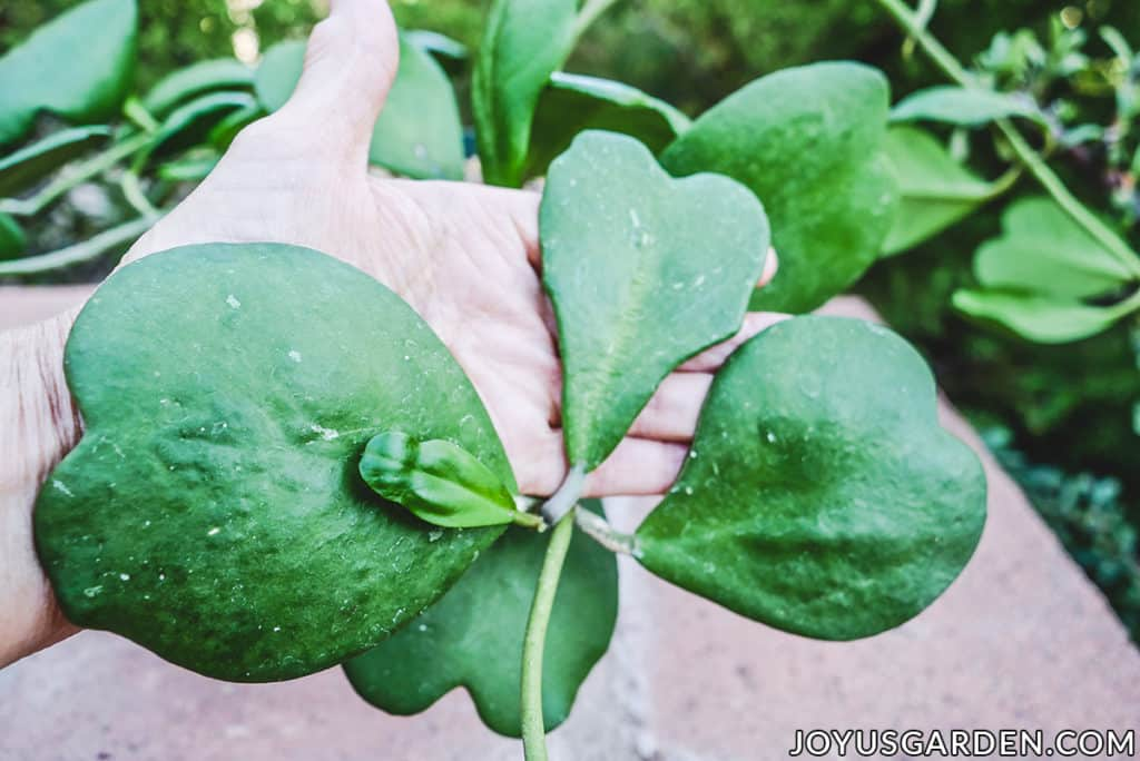 a hand holds 4 sweetheart hoya hoya kerrii leaves
