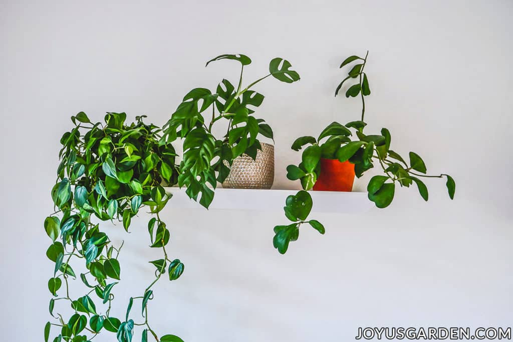3 houseplants sit on a floating shelf against a white wall