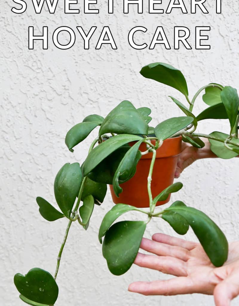 a hand holds a hoya kerrii plant the text reads sweetheart hoya care