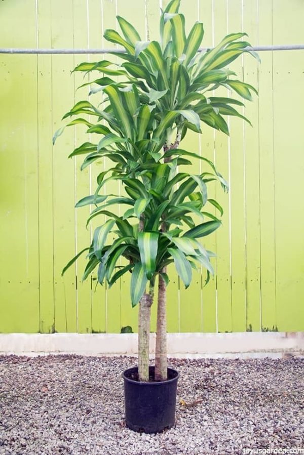 a dracaena massangeana corn plant with large green and chartreuse variegated leaves against a chartreuse background