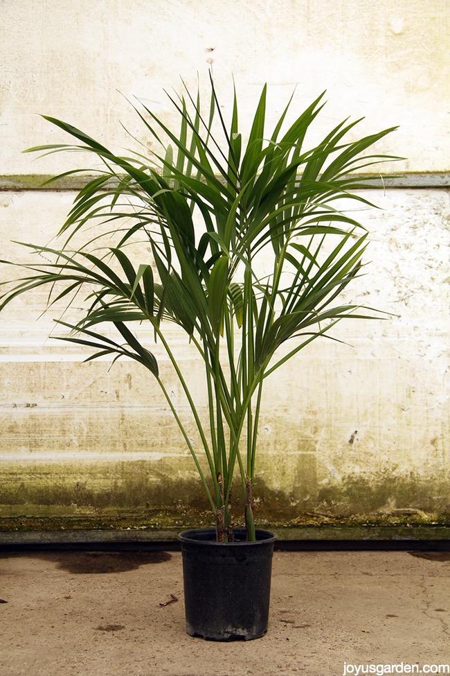 an elegant 5 foot tall Kentia Palm in a black grow pot