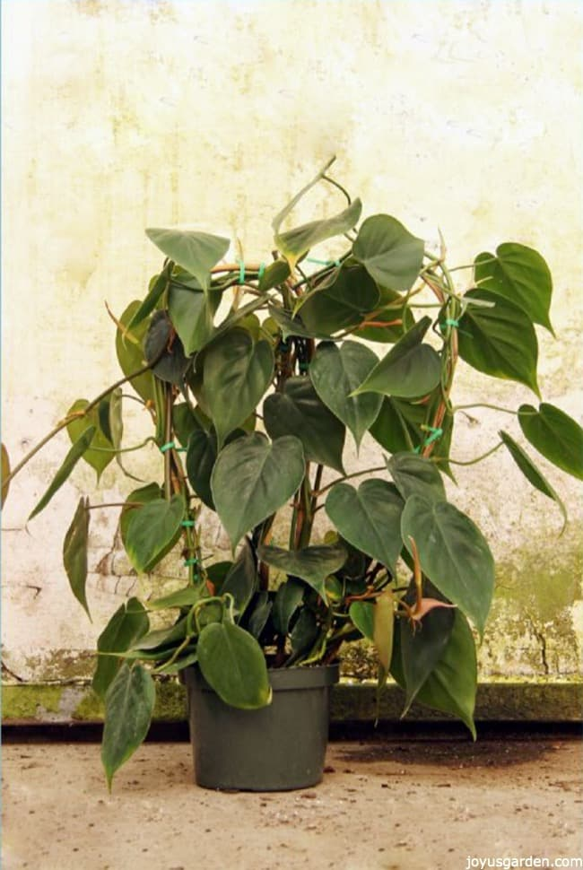 Medium Size Heartleaf Philodendron growing on a bamboo hoop against a rustic background