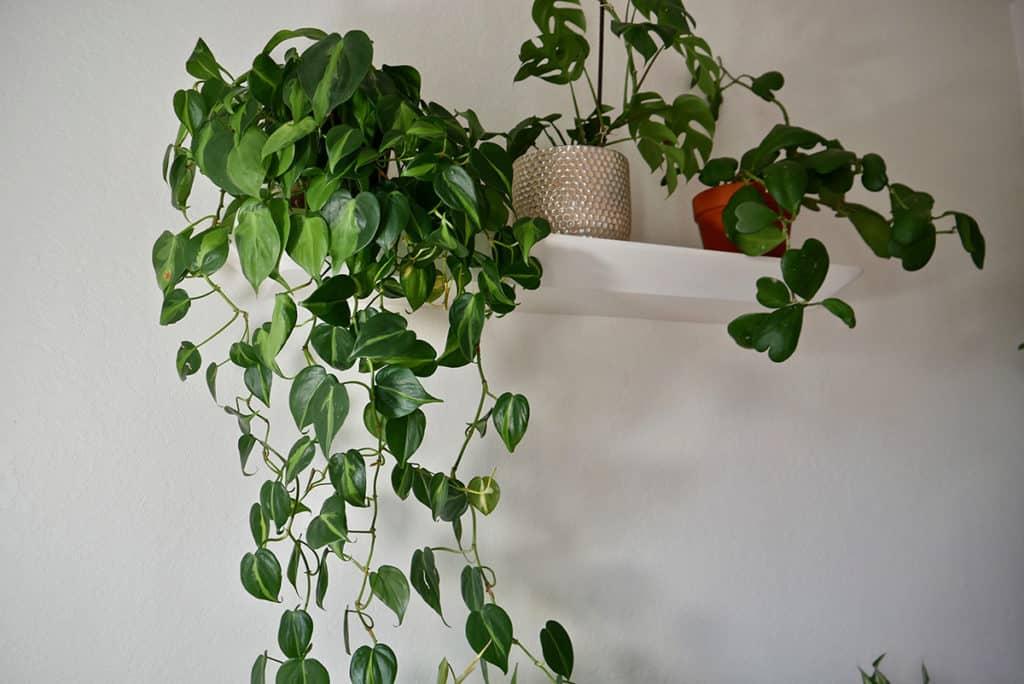 philodendron brasil monstera minima & sweetheart hoya houseplants sit on a floating shelf