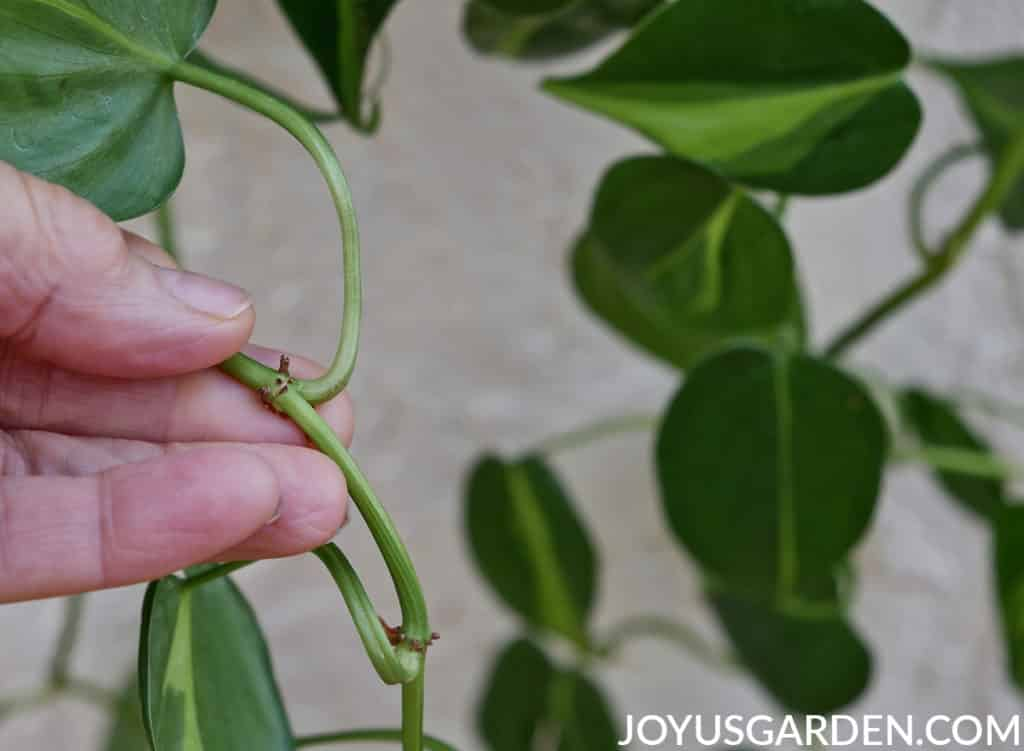 close up of the nodes on the stem of a philodendron brasil