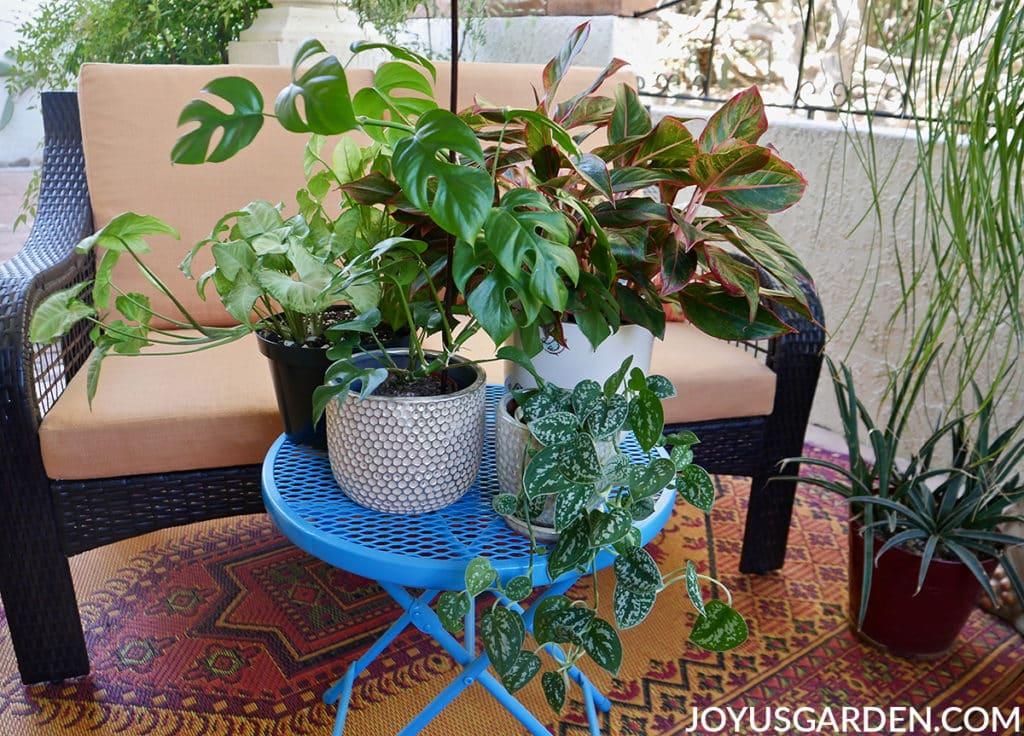 monstera minima satin pothos arrowhead vine & agalonema siam houseplants sit on a blue patio table