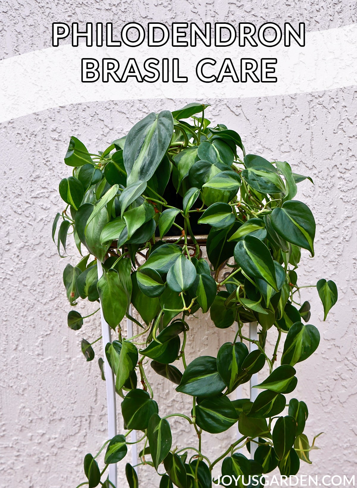 a trailing philodendron brasil plant sits on a plant stand the text reads philodendron brasil care