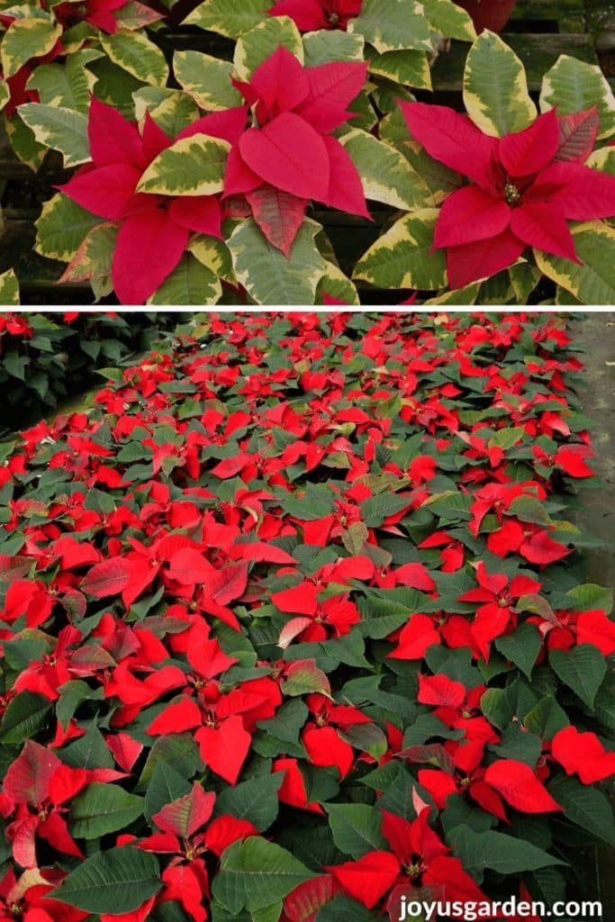 a collage of 2 photos with solid red poinsettias & red poinsettias with variegated foliage