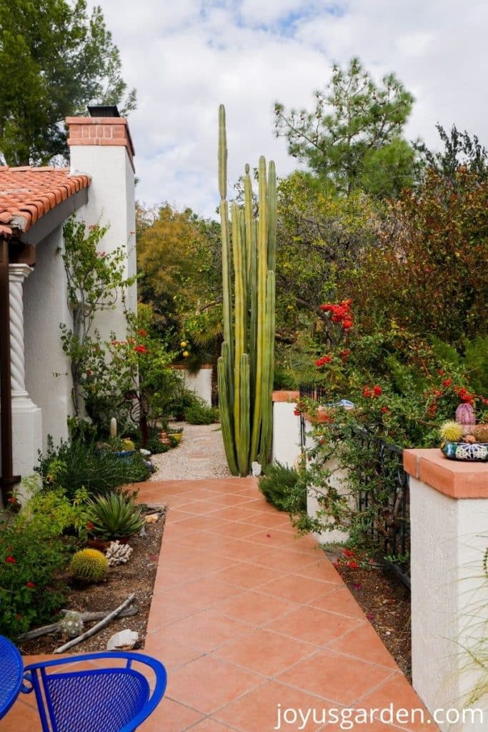 looking at a desert patio garden with a 19' mexican fence post cactus as the focal point