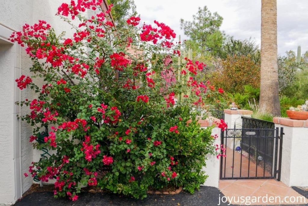 looking at a desert garden with a rose/red bougainvillea barbara karst in the foreground