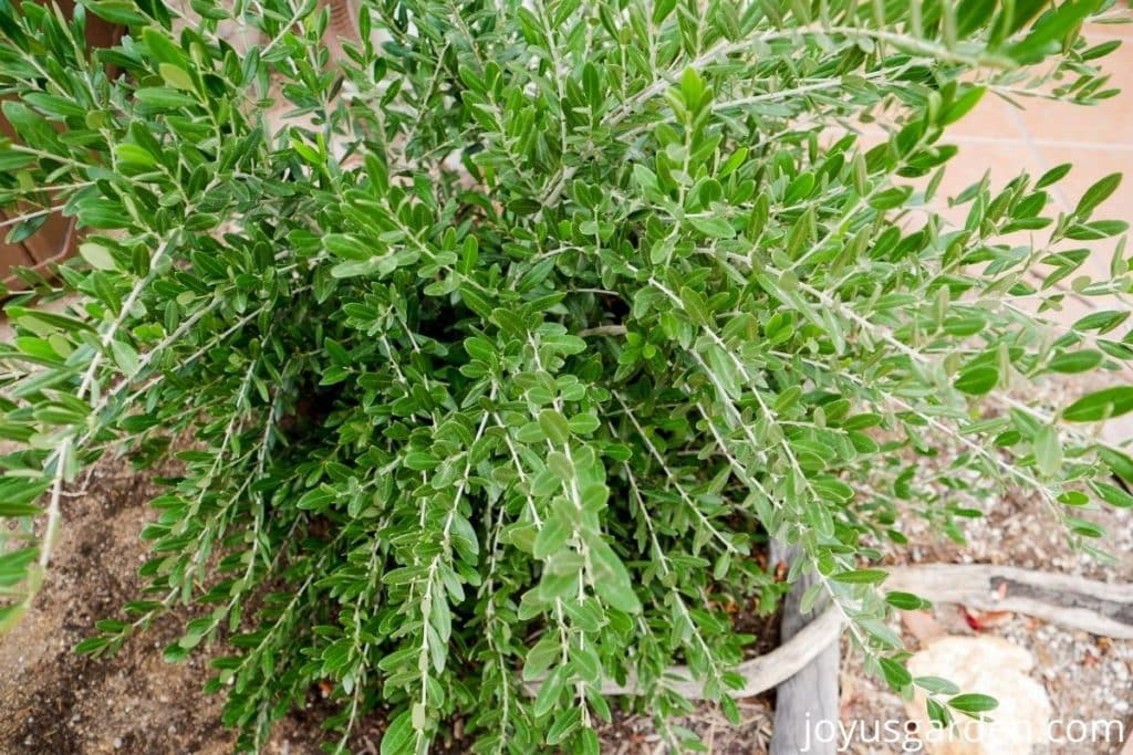 """close up of the foliage of an olive """"lil ollie"""""""
