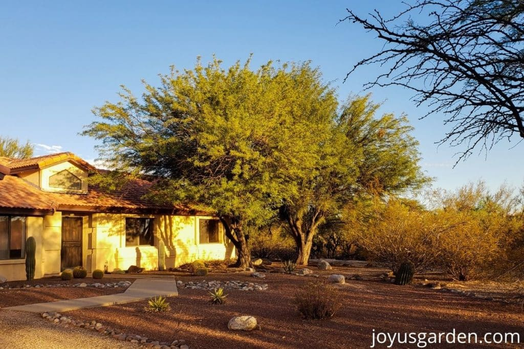 a yellow gold home with 2 large mesquite trees in tucson az