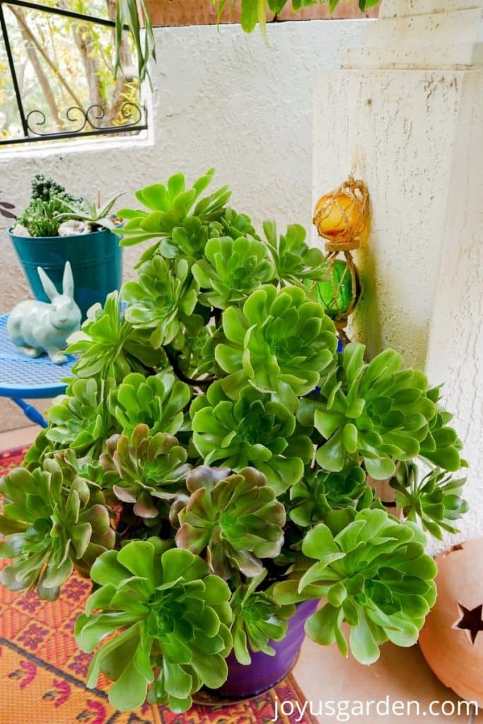 close up of a container planted with tall aeoniums