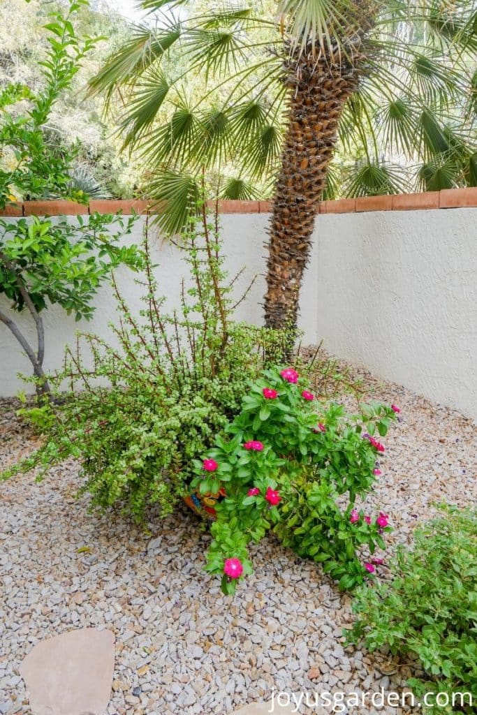 an elephant's food bush & a red annual vinca grow in a pot in front of a mediterranean fan palm
