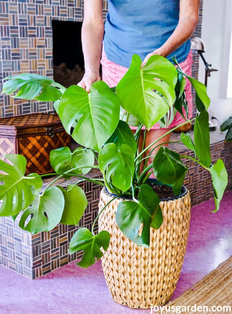 a woman holds the leaves of a large monstera deliciosa swiss cheese plant in a tall basket
