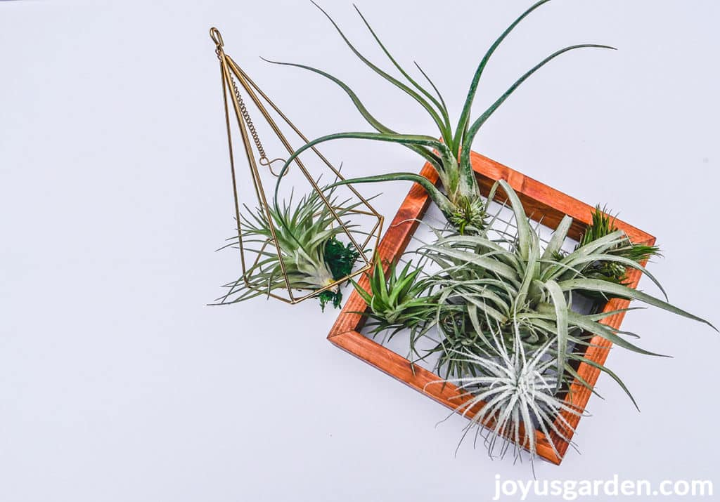 a variety of air plants tillandsias displayed in a wire hanger & a wire frame