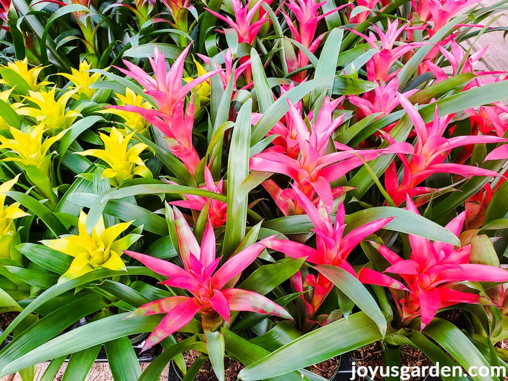 many guzmania bromeliad plants with yellow & deep pink flowers