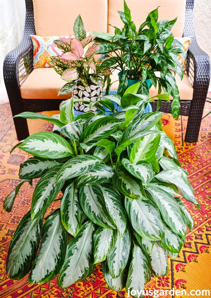 3 types of aglaonemas chinese evergreen plants on a patio
