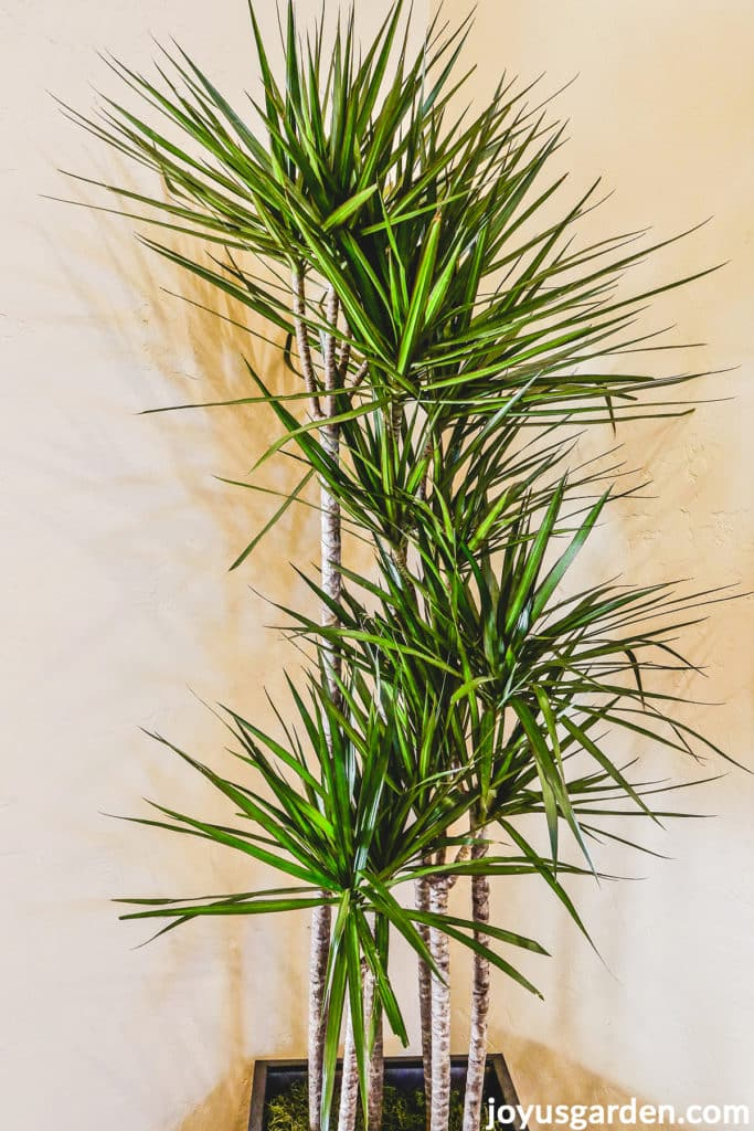 a large dracaena marginata dragon tree with multiple stems