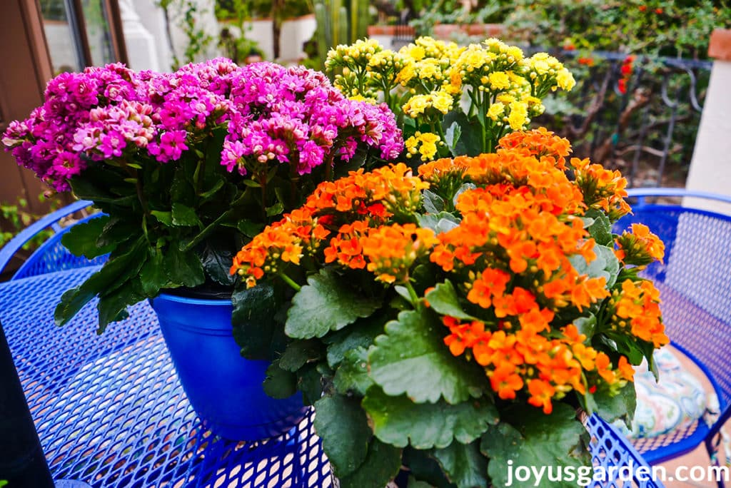 orange, bright pink & yellow flowering kalanchoe plants sit on a patio table