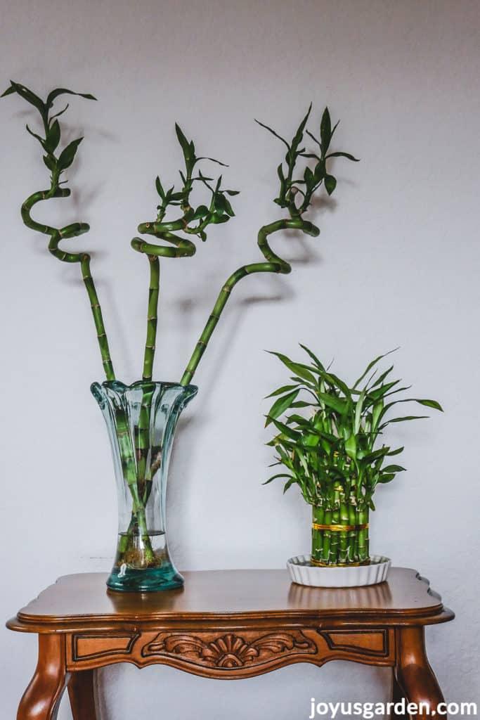 a spiral lucky bamboo arrangement in a glass vase sits next to a lucky bamboo arrangement in a low dish