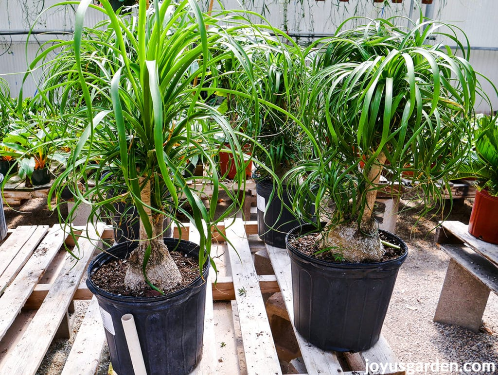 2 ponytail palm plants sit side by side on a greenhouse bench