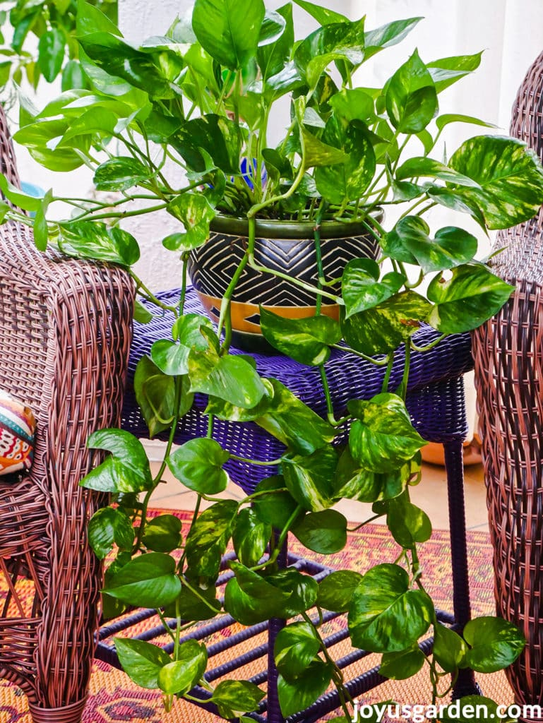 a pothos plant with long trails sits on a purple wicker table